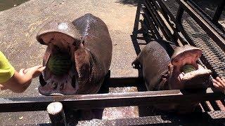 長崎バイオパークの夏の恒例イベント「カバのスイカまるごとタイム」。...