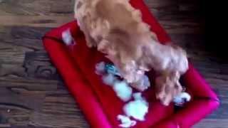 Crime Caught On Tape - Sebastian The American Cocker Spaniel