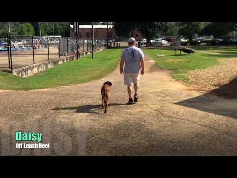Daisy Rhodesian Ridgeback   E Collar Training   Big Dog Obedience  Lafayette Dog Trainer