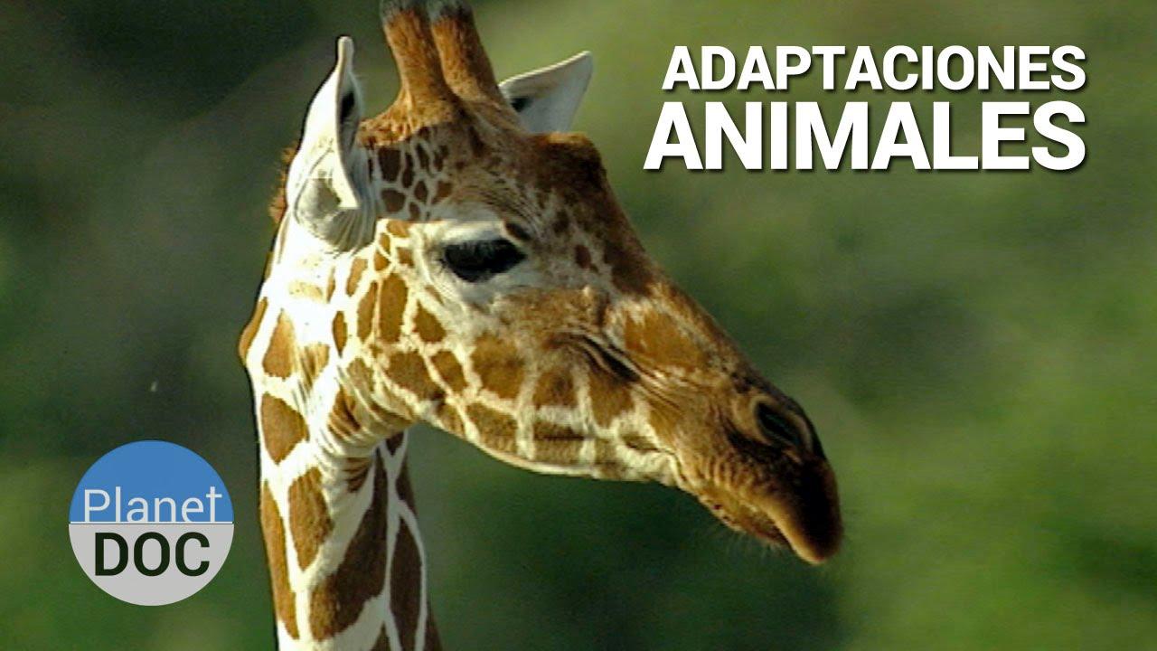 Shaba Adaptaciones Animales Naturaleza Planet Doc Youtube