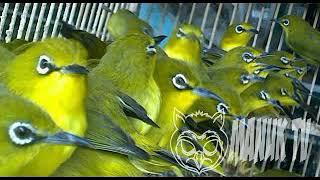 Terapi air burung pleci, 100% di jamin langsung..