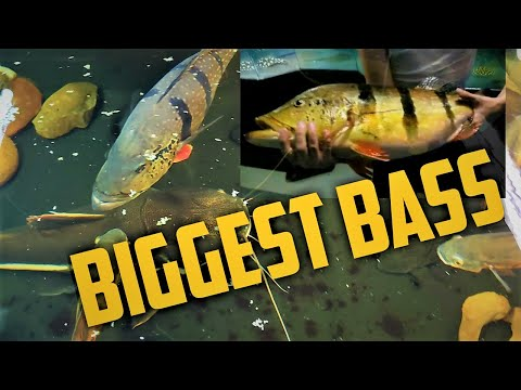 The BIGGEST BASS Ive Ever Seen, Rescuing Monster Fish