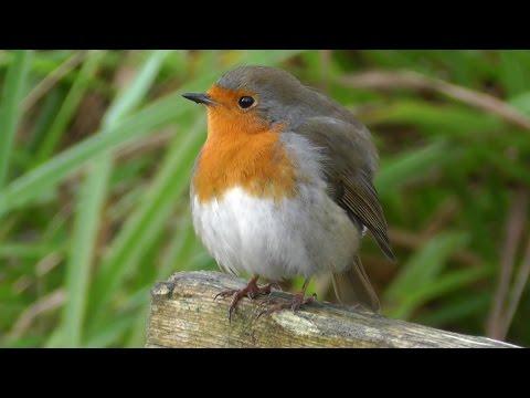 British Robin Red Breast UK Bird - The National Bird Of Great Britain