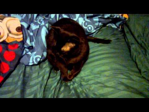 Linkin the pesty burmese cat