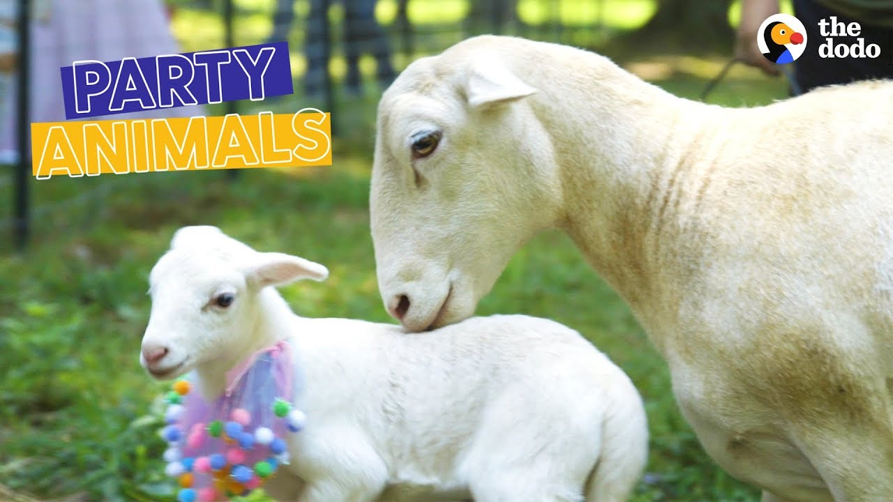 Rescued Sheep and Her Lamb Get a Baby Shower