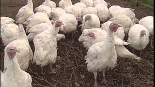 Christmas Turkey from Ireland Farms - Shaw TV Victoria