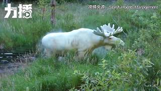 瑞典探險家遇罕有白駝鹿