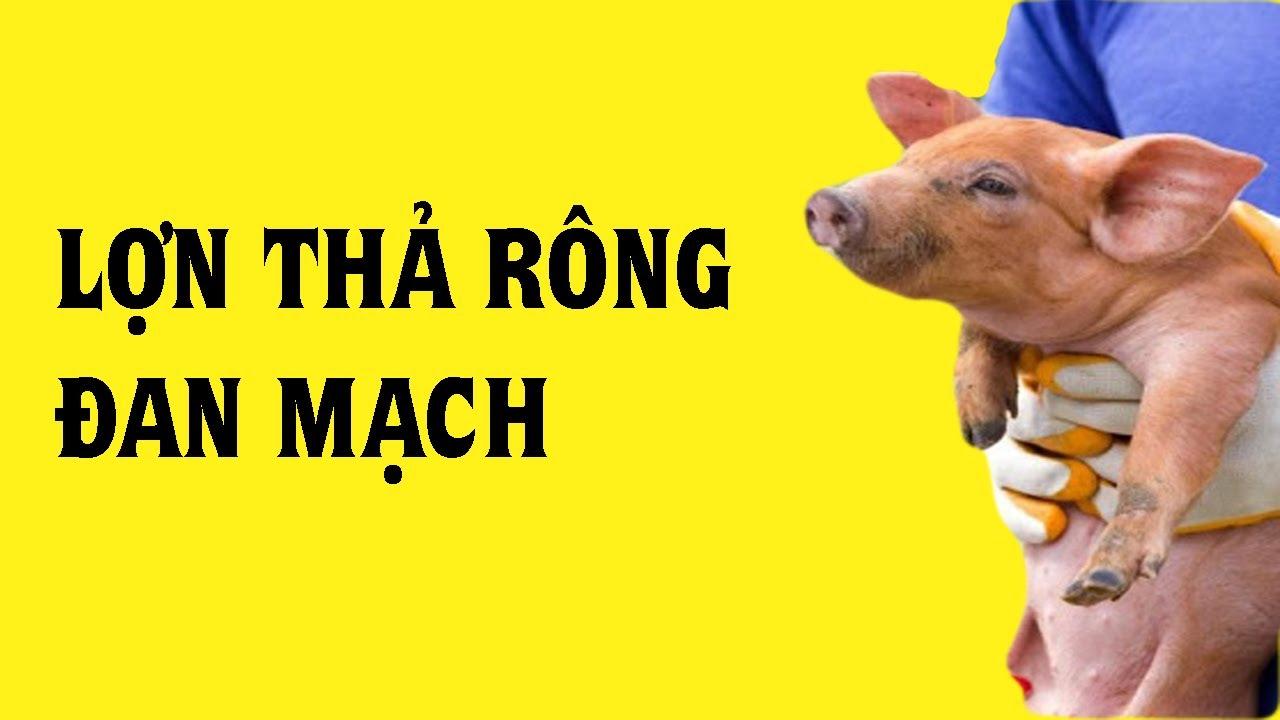 Công Nghệ Nuôi Heo Hữu Cơ Đan Mạch Và Nuôi Lợn An Toàn Sinh Học Cho Người Dân