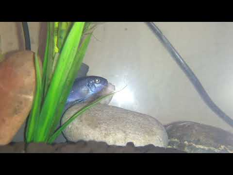African Cichlids Cobalt Blue Zebra Fish Being Nervous