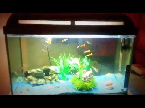 Pleco and Guppy fish tank HD