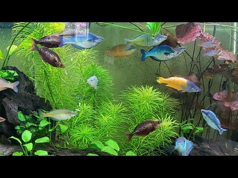 The Rare & Beautiful Rainbow Fish Of Bentley Pascoe's Aquarium Display Gallery Tanks Incredible Love