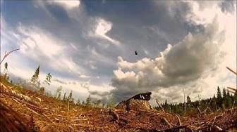 Hiirihaukka Common buzzard