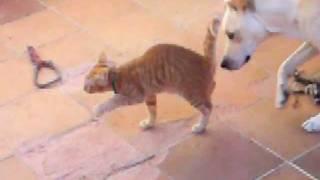 Keo, cachorrón de gato con ataxia que se ha ganado mi corazón