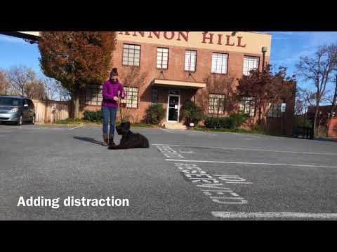 Dog Training a Briard