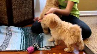 Cream and Apricot Australian Labradoodle Puppies