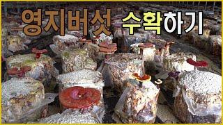 문상영 영지버섯농장 버…