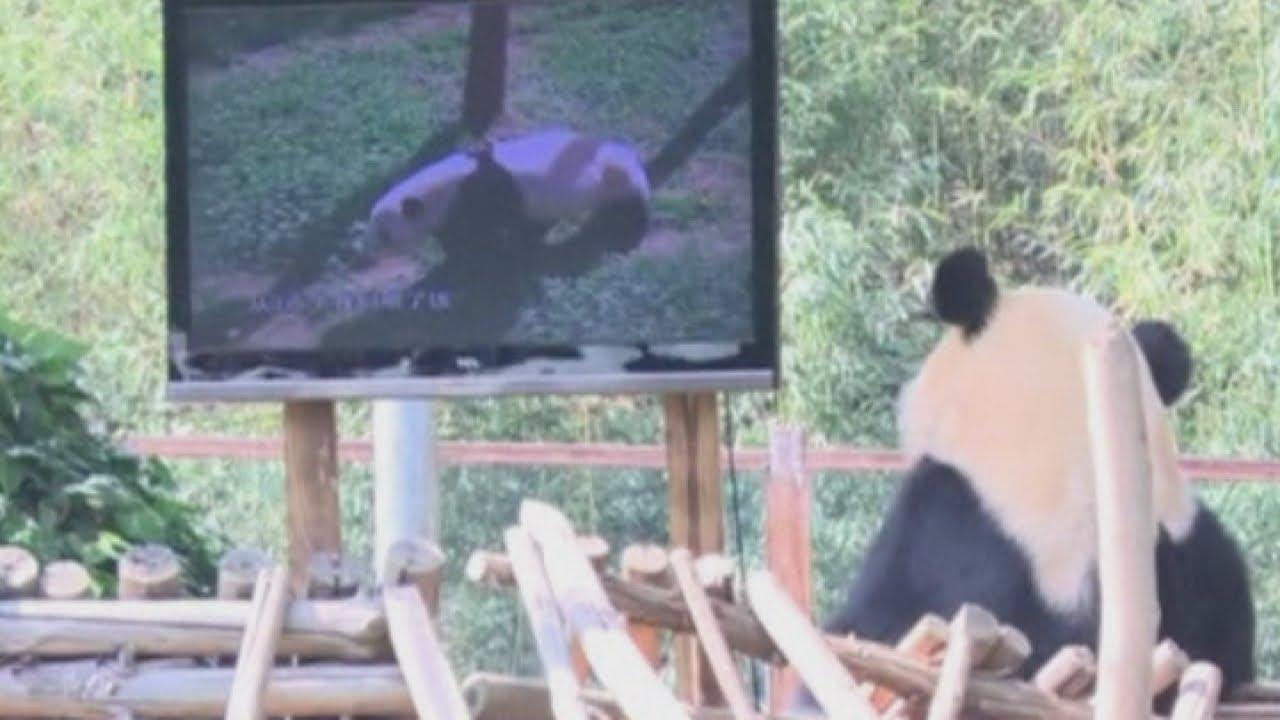 Sad panda: Depressed bear gets a TV