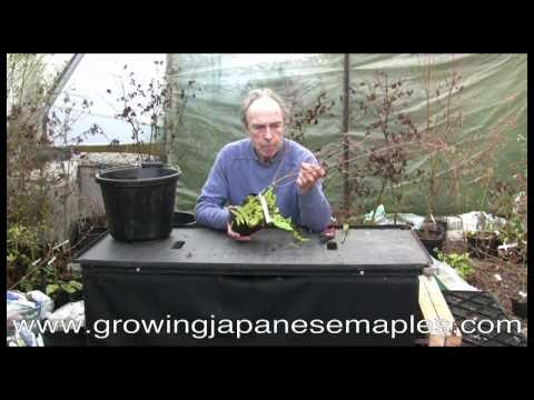 Growing Japanese Maples Container Cultivation 1