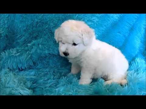 Sinclair Male Bichon Frise Puppy