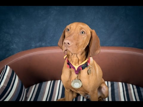 Eszter - Hungarian Vizsla Puppy - 2 Weeks Residential Dog Training