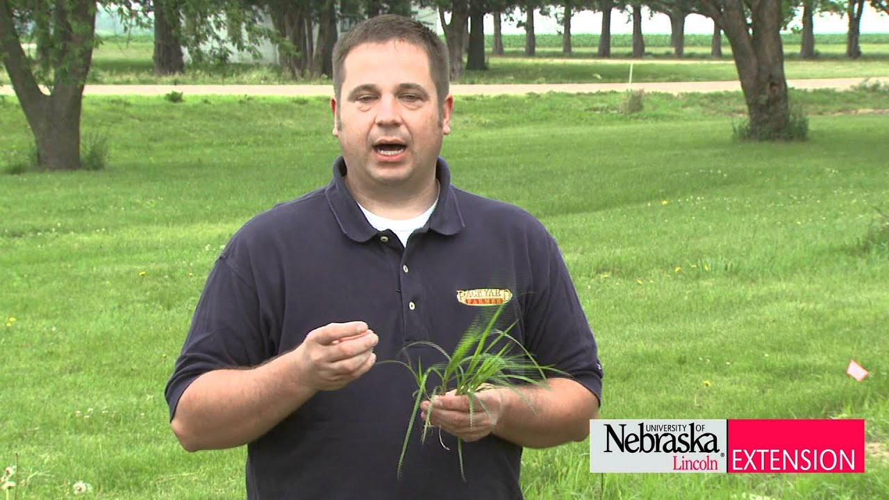 How to get rid of nut grass - How To Get Rid Of Nut Grass 27
