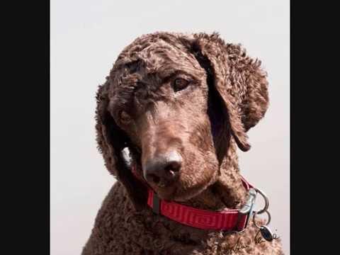 Все породы собак.Ирландский водяной спаниель(Irish Water Spaniel)