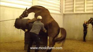2014-01-29 Stallion DOREE afname sperma UGent met dr  Cyriel VERVERS