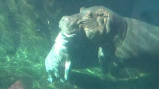 Baby Hippo Fiona and Mom Bibi at the Cincinnati Zoo