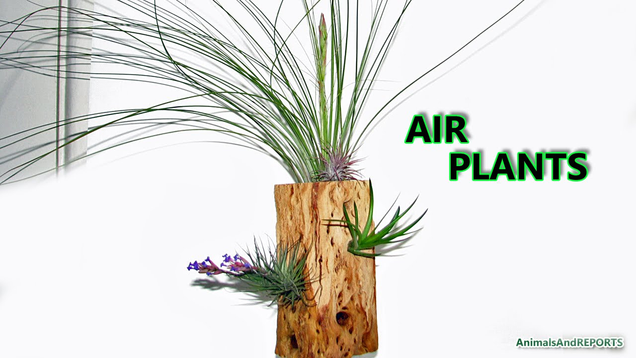 Air Plant Display Air Plants Tillandsias Display Idea Youtube