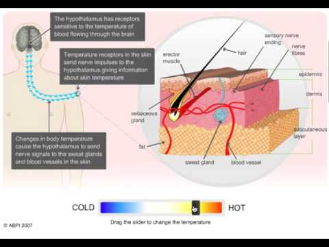 Thermoregulation - What does the Skin Do?