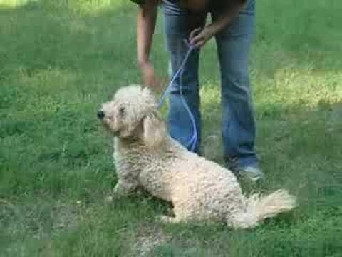 levi-the-mini-goldendoodle