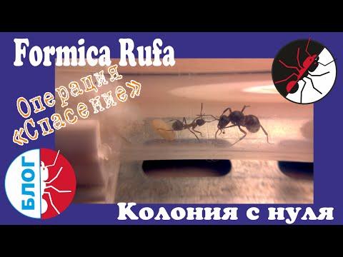 """Муравьи Formica Rufa. Как поднять колонию с нуля. Операция """"Спасение"""""""