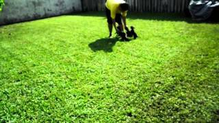 """""""pootalian"""" (poodle/italian Greyhound) Puppies 8 Weeks Old 1st Time Out Playing In The Yard"""
