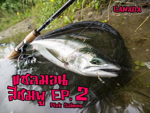 Ep 2: Pink Salmon แซลมอนสีชมพู Canada