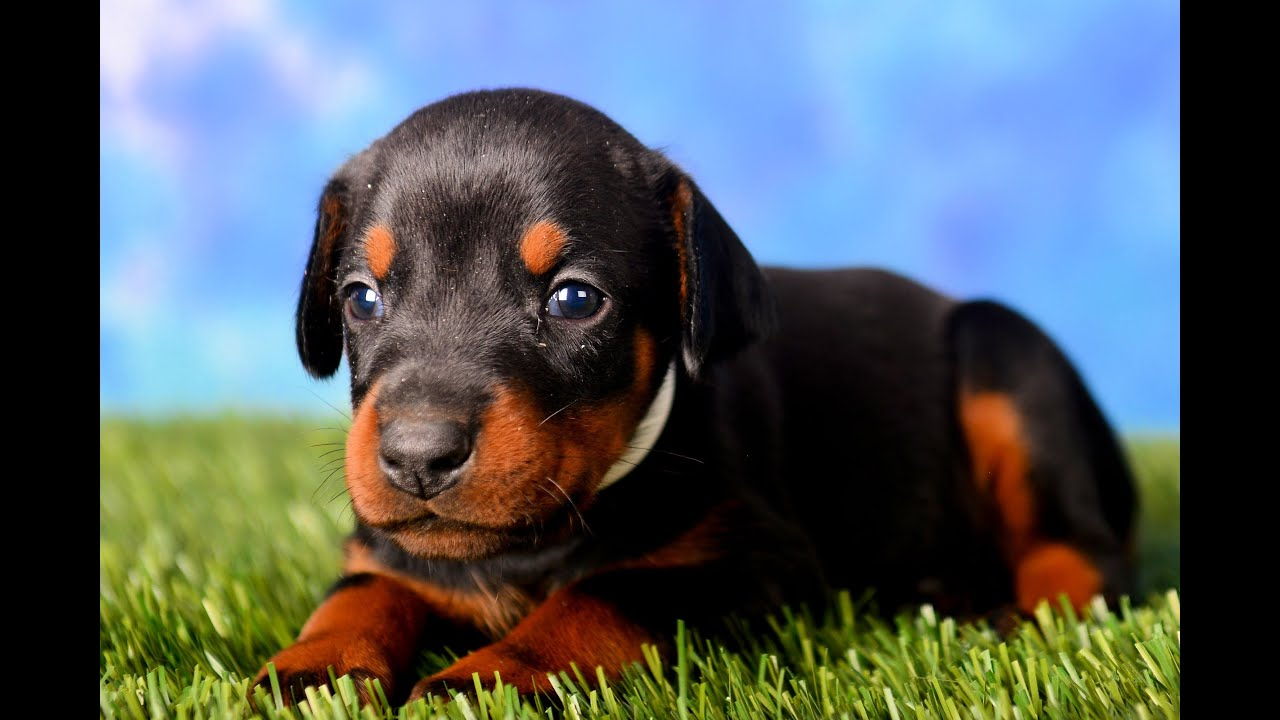 Doberman puppies for sale 4 weeks old - YouTube