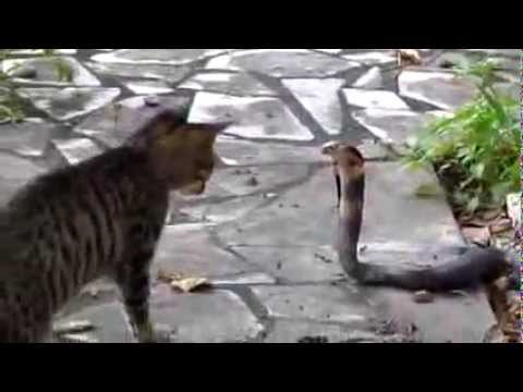 Cat and Cobra Amazing Fight.