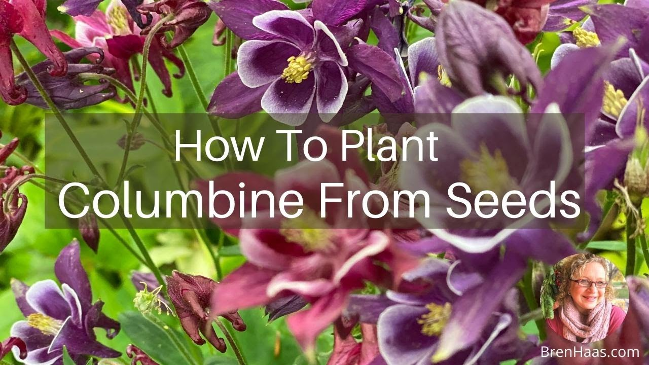 Planting Columbine Seed In Spring Garden Youtube