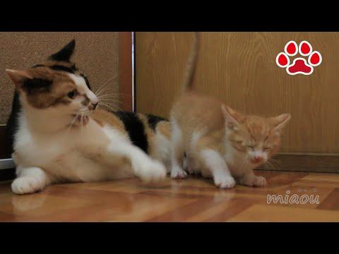 三毛猫さん ごめんなさい 子猫まや【瀬戸のまや日記】 I'm sorry Mi-ke san. Cute kitten Maya