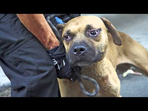 ASPCA Video: Abused Dog Fighting Victims, One Year Later