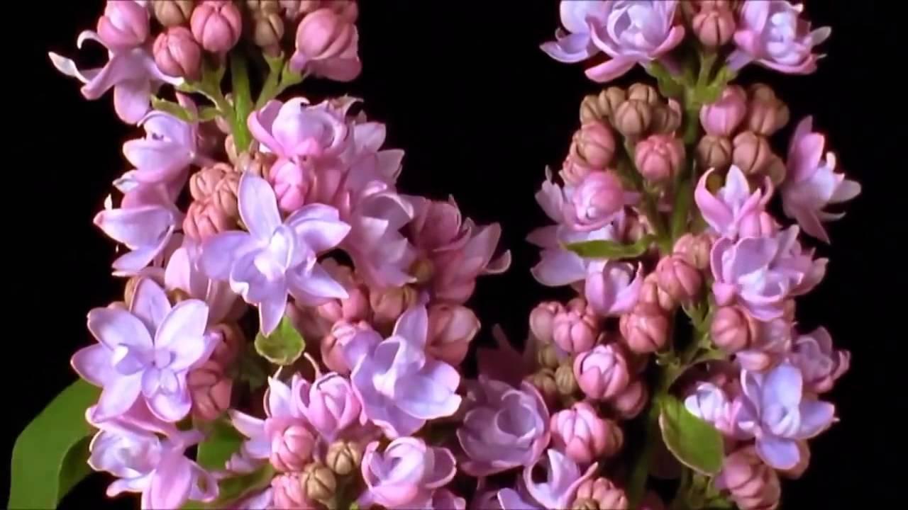 Most beautiful blooming flowers beautiful flower time lapse 1080hd most beautiful blooming flowers beautiful flower time lapse 1080hd izmirmasajfo Images