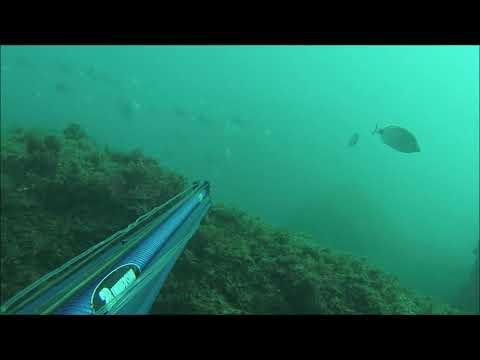 chasse sous marine observation de poisson ! corb merou sars