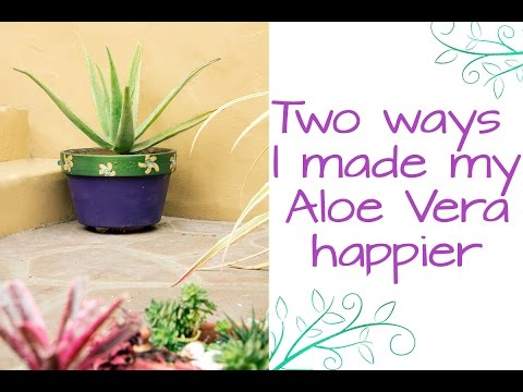 Two Ways I Made My Aloe Vera A Whole Lot Happier