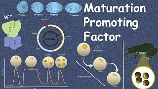 Maturation Promoting Factor Mitotic cyclin discovery and function