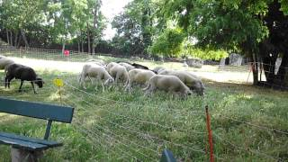 small sheep herd/group moving on