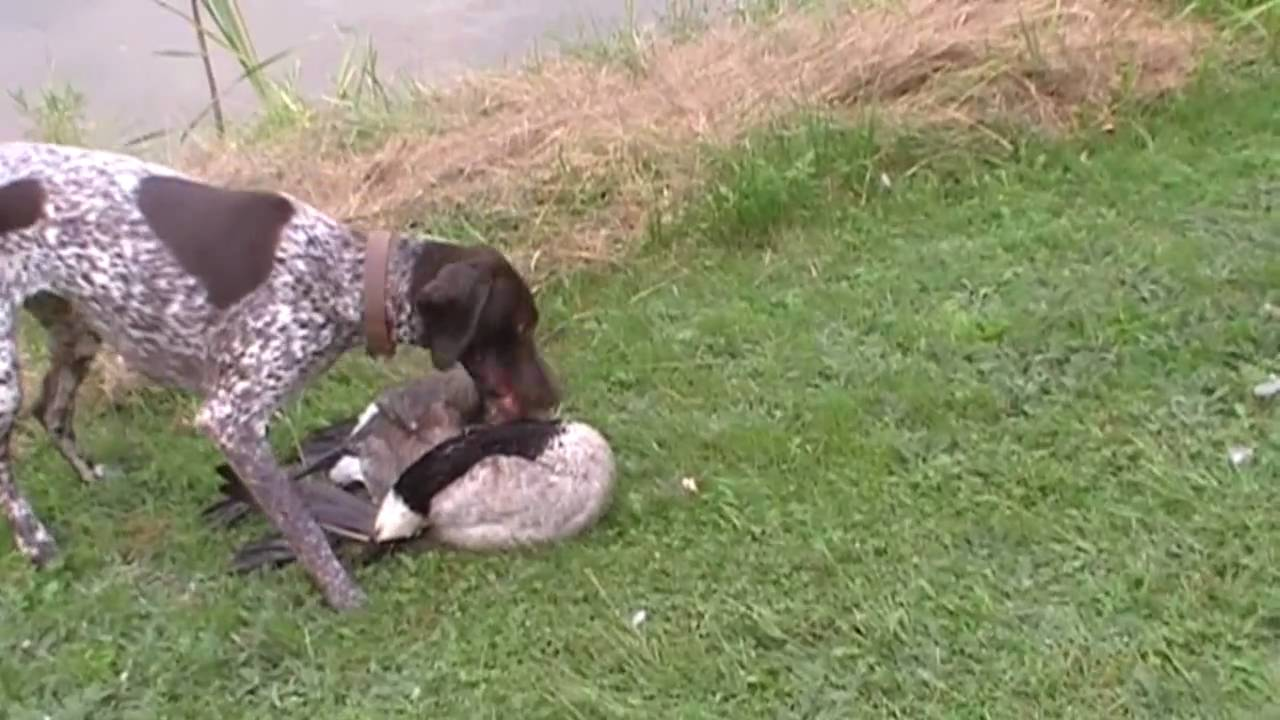 Our German Shorthaired Pointer retrieving a Goose! - YouTube