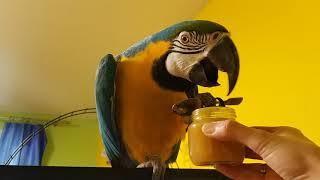 Попугай ара ест фруктовое пюре из ложки