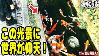 海外の反応「マジでありえない!」日本のドブで泳ぐ大量の錦鯉に、外国人も驚愕(;゚ロ゚)