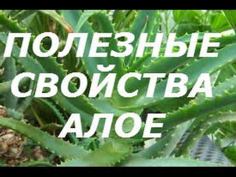 Лечебное растение Алоэ Вера цена от 590р. Купить цветок