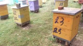 Матки Кордован F1 - реальный отзыв пчеловода