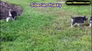 Siberian Husky, Puppies, For, Sale, In, Charleston, West Virginia, Wv, Williamson, Culloden, Kenova,